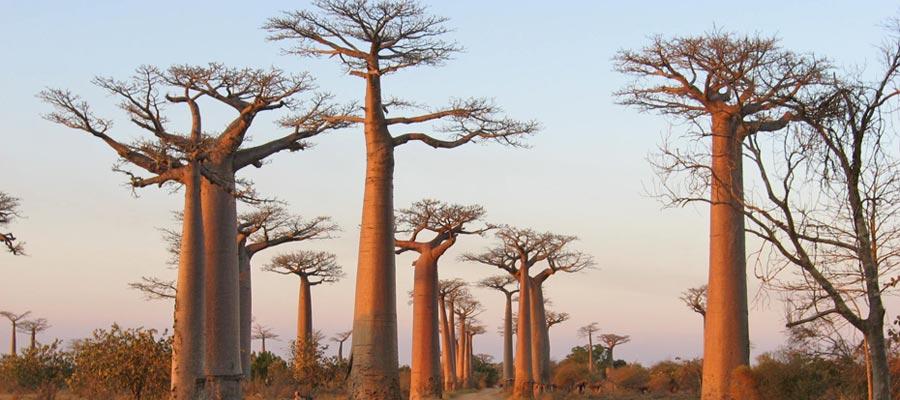 I baobab di Morondova